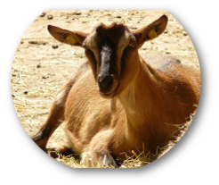 domestic-goat-7452_1920.png